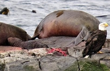 Elephant seal birth 2010