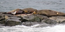 elephant seal birth at Race Rocks