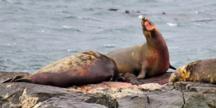 elephant seal birth at Race Rocks