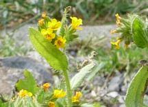 Amsinckia spectabilis , fiddleneck