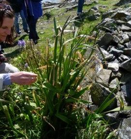 gladiolus imbricatus