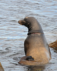 neck ring on sea lion