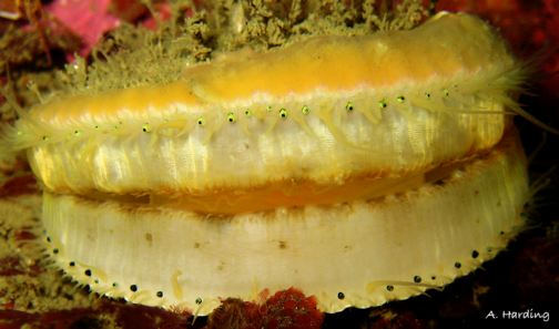 Chlamys hastata, The swimming scallop