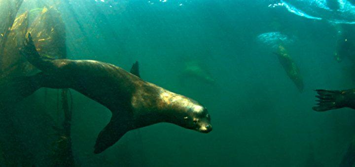 california sea lion underwater