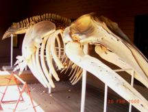 Gray Whale Skeleton